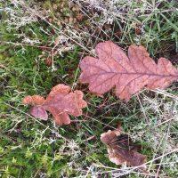 Oak leaves on forest floor on Vancouver Island