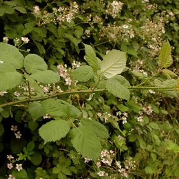Invasive species Himalayan Blackberry branch reaching to grow.